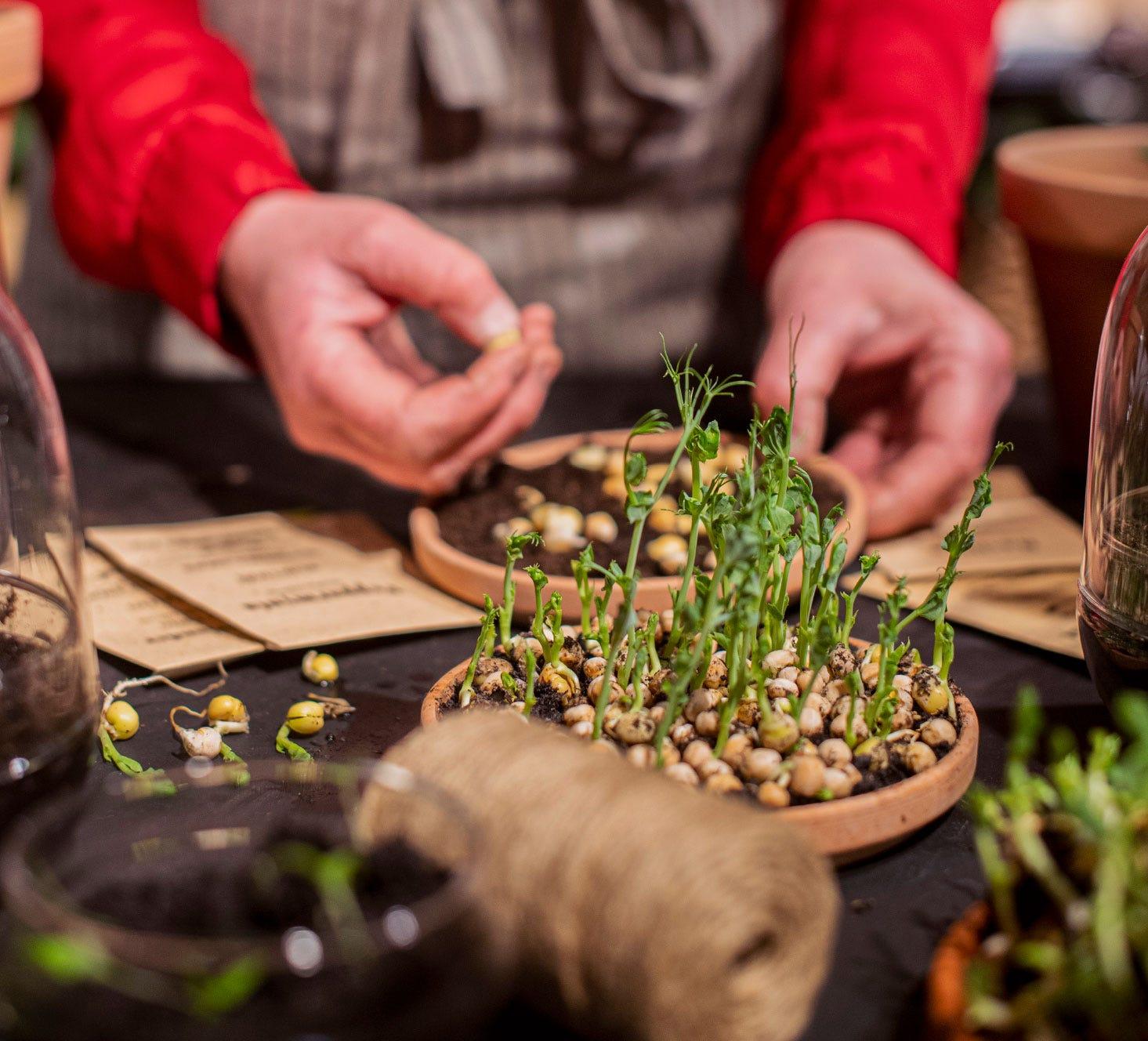Att spira fröer på fat är ett härligt sätt att få igång odlingen i ditt kök.